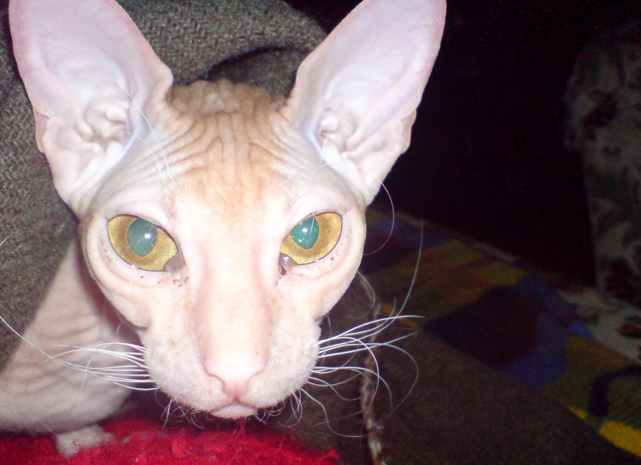 Чумка у кошек 4 фотография